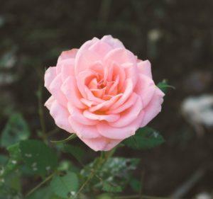 unsplash-doucet-flowers